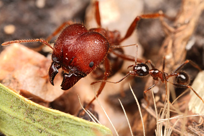 Pheidole obtusospinosa supermajor and minor workers.