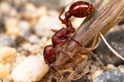 Pogonomyrmex subdentatus worker with caddidsfly.